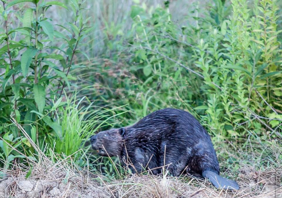 10 of the Top Reasons Beavers are like LOCKN' Fans